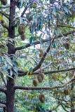 Thai King fruit Stock Photo