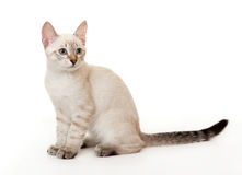 Thai kitten. Stock Photo