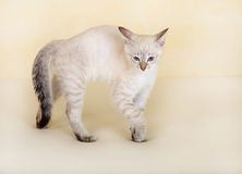Thai kitten attacks. Stock Images