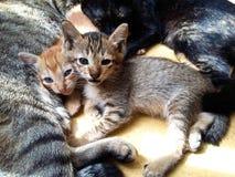 Thai kitten Stock Photos