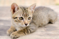 Thai kitten. Faces of  thai kittens so cute Stock Photos