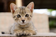 Thai kitten. Faces of  thai kittens so cute Stock Photo