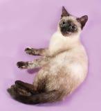 Thai kitten lying on purple Royalty Free Stock Photos