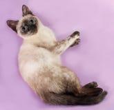 Thai kitten lying on purple Stock Image