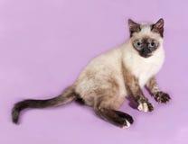 Thai kitten lying on purple Stock Photography