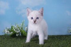 Thai kitten playing in the meadow on a clear day Royalty Free Stock Images