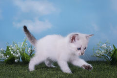 Thai kitten playing in the meadow on a clear day Stock Images
