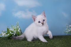 Thai kitten playing in the meadow on a clear day Royalty Free Stock Photos