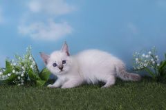 Thai kitten playing in the meadow on a clear day Stock Image