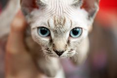 Thai kitten portrait close-up on blurred background shallow focus Royalty Free Stock Image