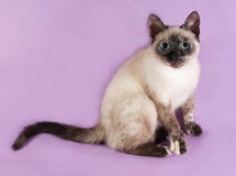 Thai kitten sitting on purple Royalty Free Stock Photography