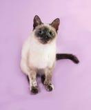 Thai kitten sitting on purple Royalty Free Stock Photo