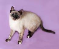 Thai kitten standing on purple Royalty Free Stock Image