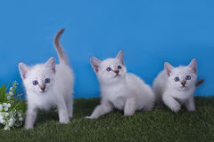 Thai kittens frolic in the meadow Royalty Free Stock Photography