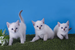 Thai kittens frolic in the meadow Royalty Free Stock Photos