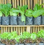 Thai lettuce. Background style image Royalty Free Stock Photos