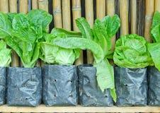 Thai lettuce. Object style image Royalty Free Stock Image