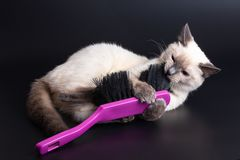 Thai light kitten playing with a large bright purple brush for cleaning. Black background, close-up stock photo