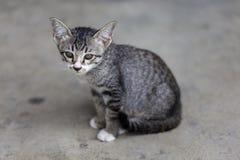 Thai little kitten Royalty Free Stock Images