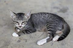 Thai little kitten Royalty Free Stock Photo