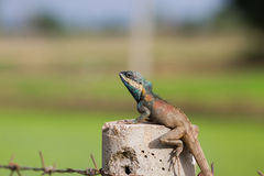 Thai lizard Stock Photos