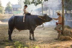 Thai local boy playing notebook on buffalo back. With his father on farm background Royalty Free Stock Images