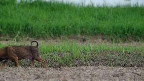 Thai local dog walking in the field stock video