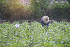 Thai local farmer harvesting a sweet potato(yams) in a field,filtered image,selective focus,light effect added Stock Photography