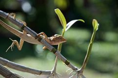 Thai long-tailed lizard sitting on a stalk of orchids royalty free stock photos