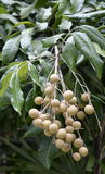 Thai Longan fruit, Popular Thailand fruit Stock Photography