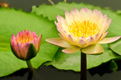 Thai lotus Royalty Free Stock Image