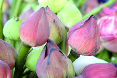 Thai Lotus Stock Images