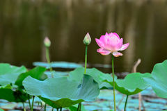 Thai lotus Royalty Free Stock Photos