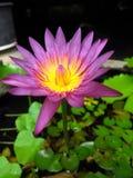 Thai lotus , Nakhon si Thammarat ,Thailand Royalty Free Stock Photos
