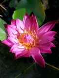 Thai lotus. Pink thailand asia Stock Images