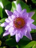 Thai lotus. Purple bee thailand asia Stock Photos