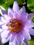 Thai lotus. Purple bees thsiland asia royalty free stock image