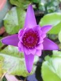 Thai lotus. Purple thailand asia Royalty Free Stock Image