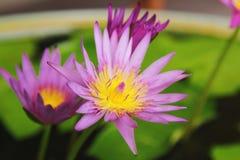 Thai Lotus Royalty Free Stock Photo