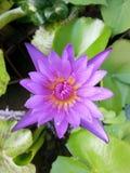 Thai lotus. Purple water thailand Royalty Free Stock Image