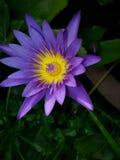 Thai lotus. Purple water thailand asia Royalty Free Stock Photo