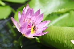 Thai lotus Stock Photos