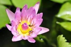 Thai lotus Stock Image