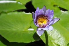 Thai lotus Stock Photo