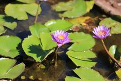 Thai lotus in the water. Royalty Free Stock Images