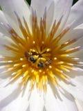 Thai lotus. White bee thailand asia Stock Photography