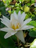 Thai lotus. White water thailand Royalty Free Stock Photo