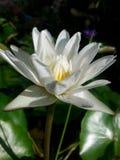 Thai lotus. White water  thailand aasia Stock Images