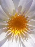 Thai lotus. White yellow thailand asia Royalty Free Stock Photos