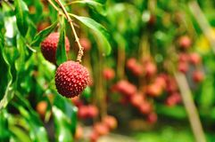 Thai lychee in the garden. Royalty Free Stock Images